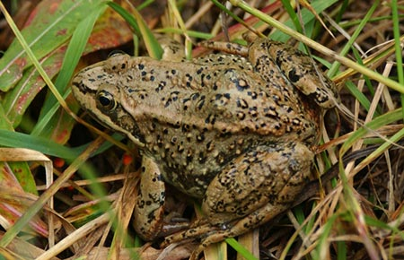 Frogs and Toads of Idaho -