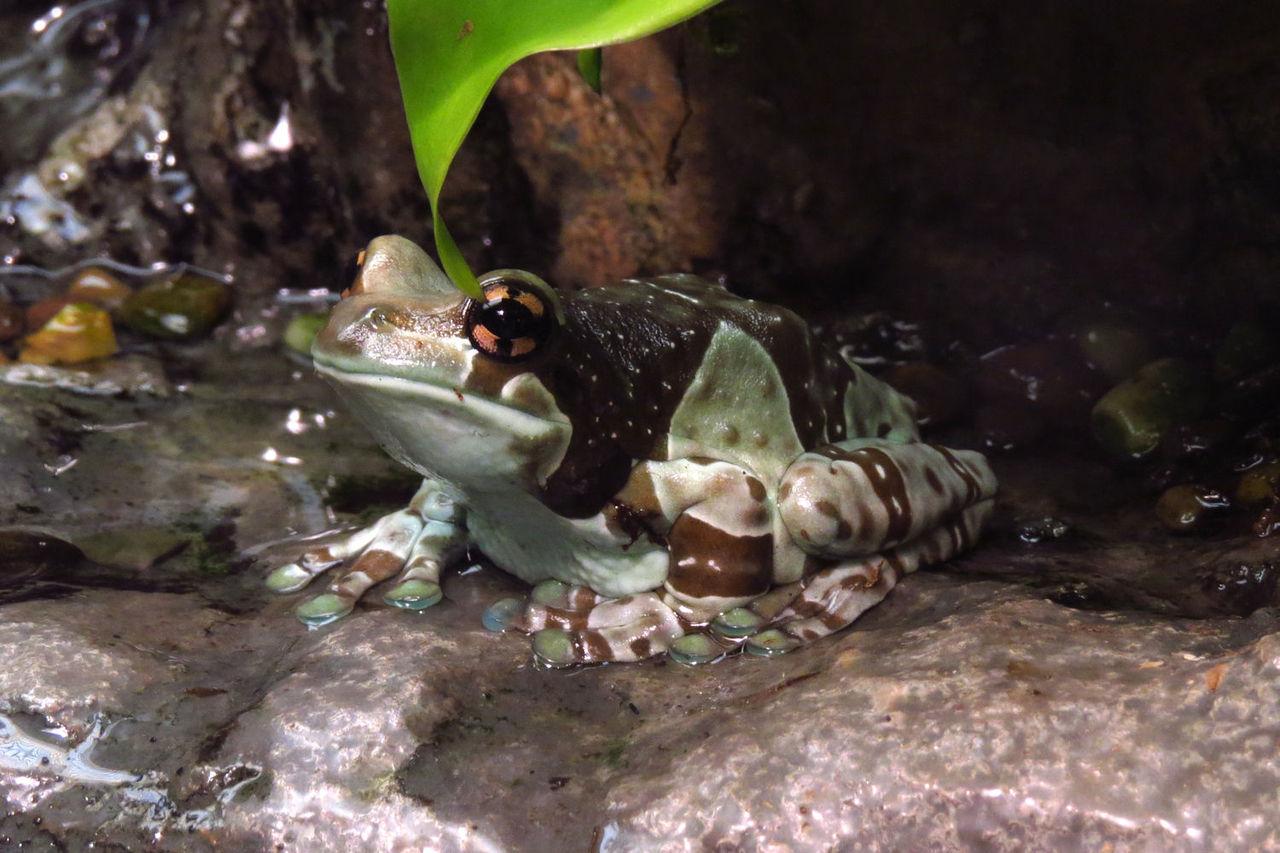 Amazon Milk Frog Trachycephalus Resinifictrix